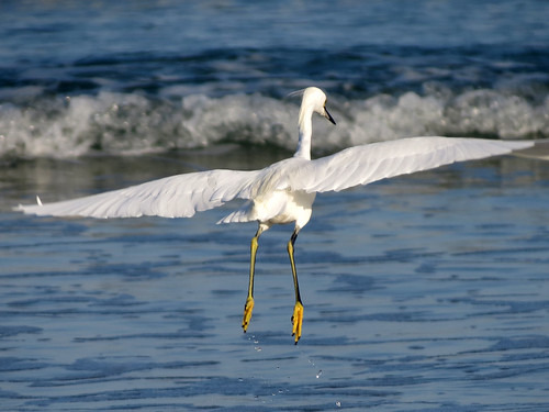 Snowy Egret | spread