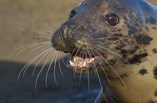 grey seal feamle close up