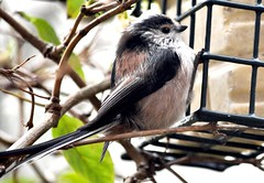 Long Tailed Tit - fluffy feathered