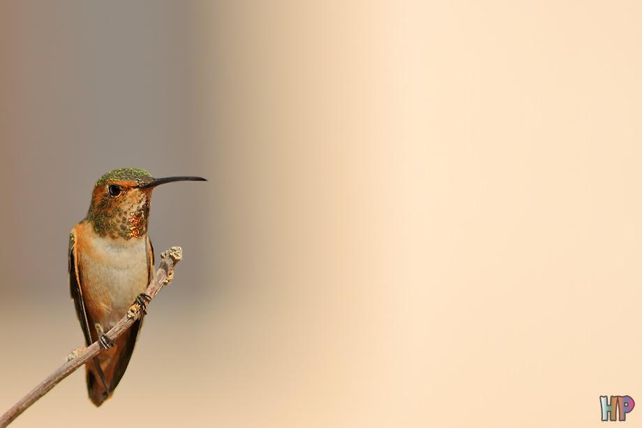 Allen's-Hummingbird012912-4
