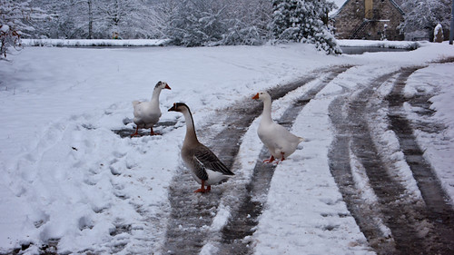 France, geese in the snow