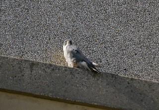 A Peregrine Falcon on Axinn Library at Hofstra University