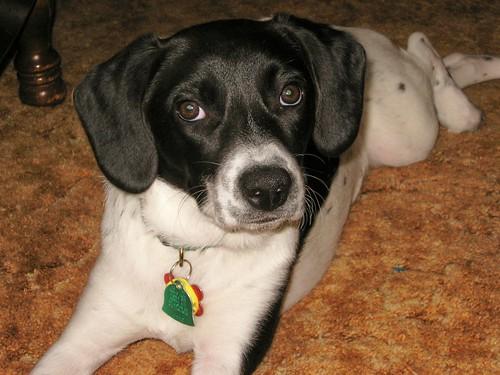 Black Whippet Beagle Mix