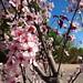 Cherry Blossoms at Balboa Park, Los Angeles, CA