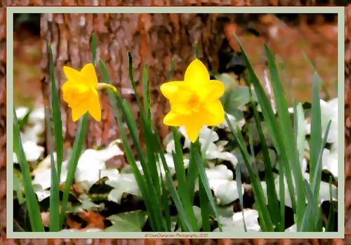Child-faced Daffodils by RufusZulu