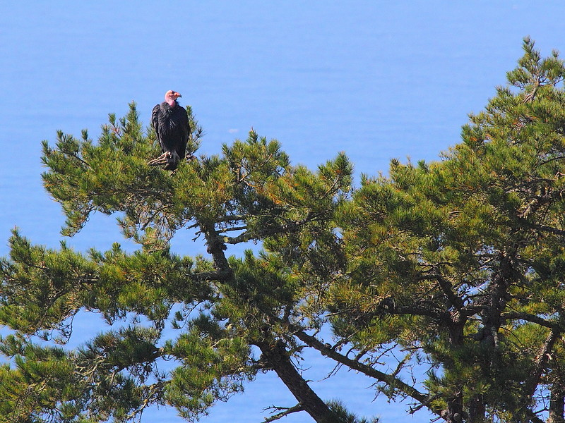 IMG_5463 California Condor, Big Sur, CA