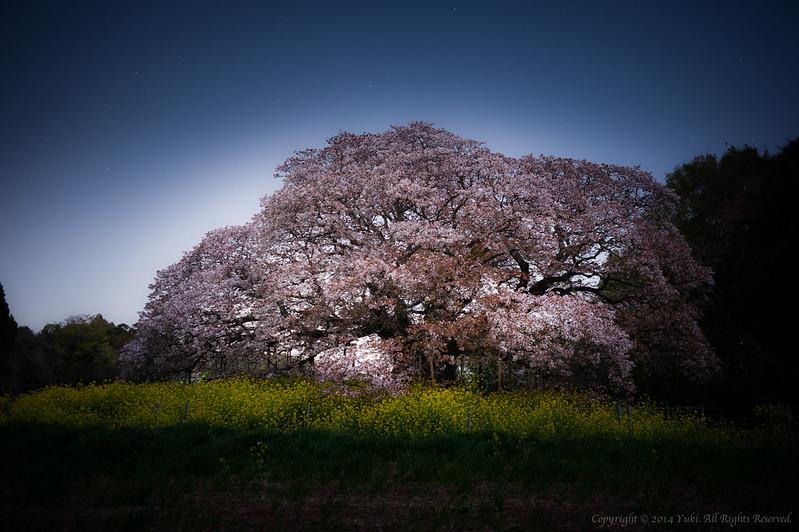 孤桜#2 (Ko Sakura)