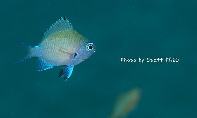 季節限定な可愛さ♪アマミスズメダイ幼魚