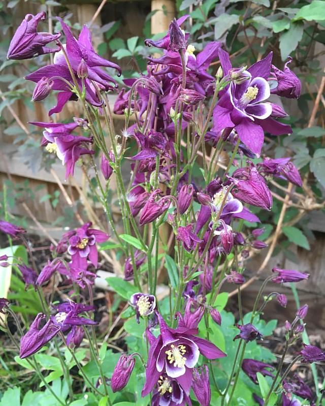 Aquilegia Vulgaris in bloom #Spring #aquilegiavulgaris #aquilegia #flowers #england