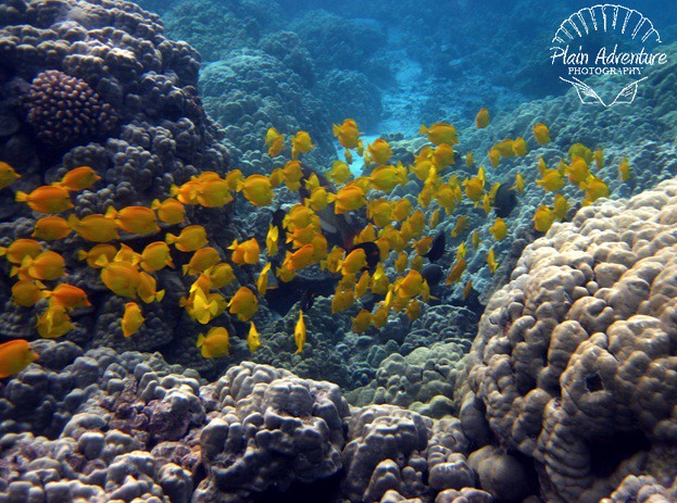 Wildlife Photography Number 17- School of Yellow Tang