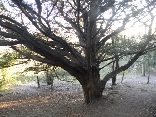Huge old yew