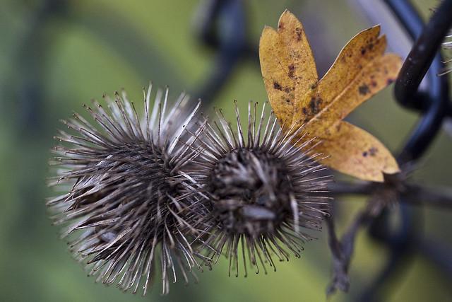 burr and hawthorne leaf