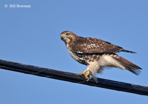 Red-tail---Bill