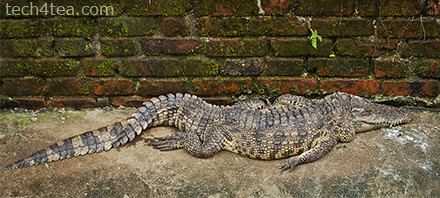 This must be the most undignified and BL looking crocodile I've ever met.