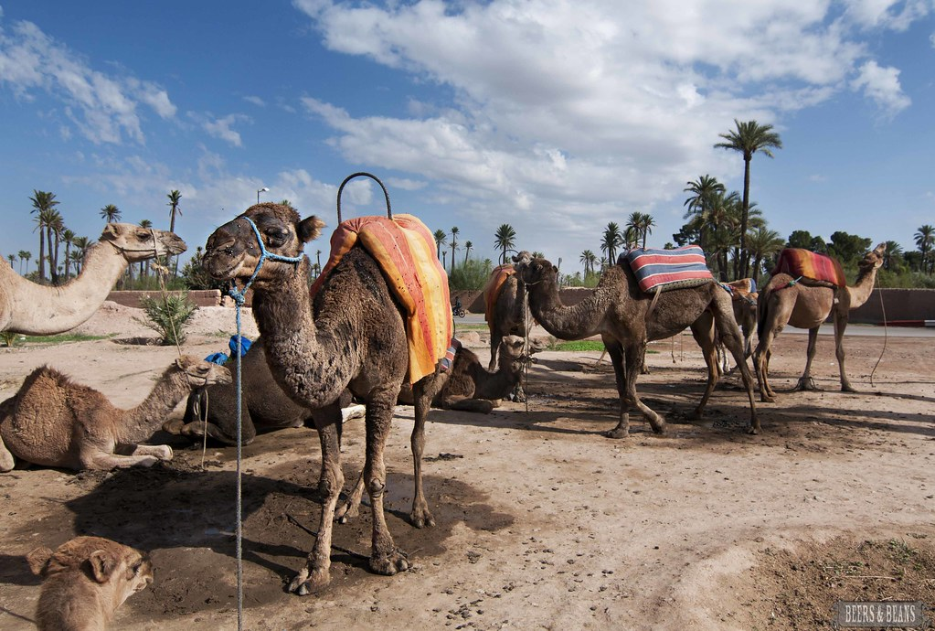 camels in marrakech sfb