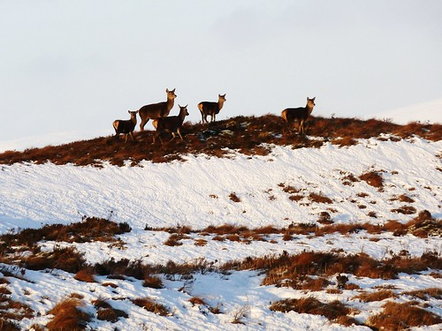 Deer in Winter on Rannoch Moor