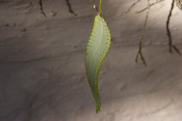 eucalyptus leaf with blanket stitch