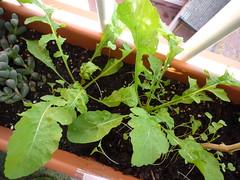 2 plantas de rúcula