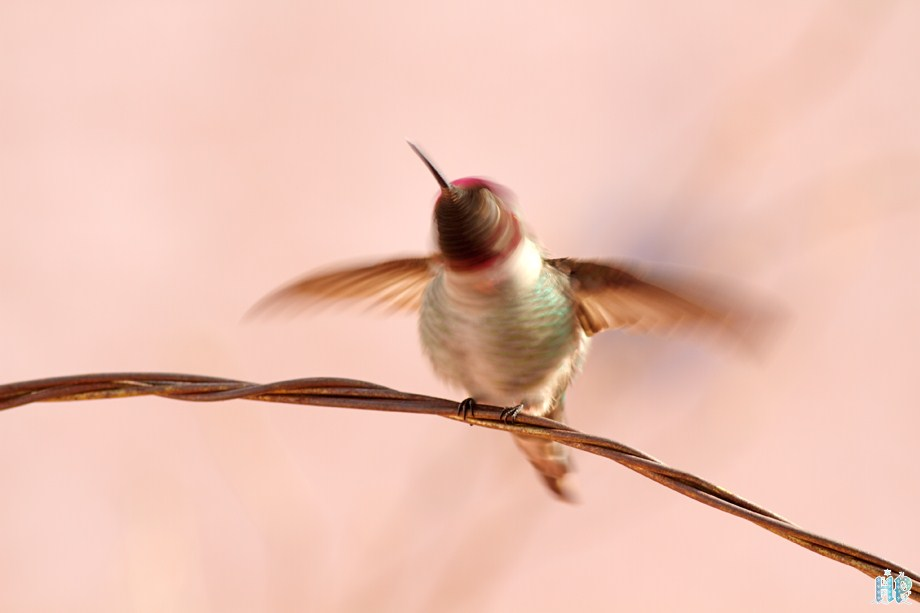 Anna's Hummingbird 121511-10-4