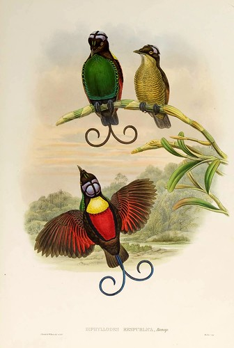 026-Ave del Paraiso de cabeza descubierta-The birds of New Guinea and the adjacent Papuan islands..1875-1888-Vol I-Gould y Sharpe