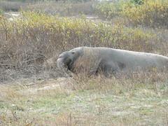 Elephant Seal4