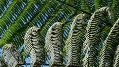 Seven strands of fern all in a row