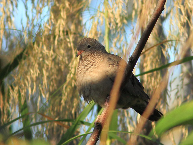 Common Ground-Dove 2-20120101