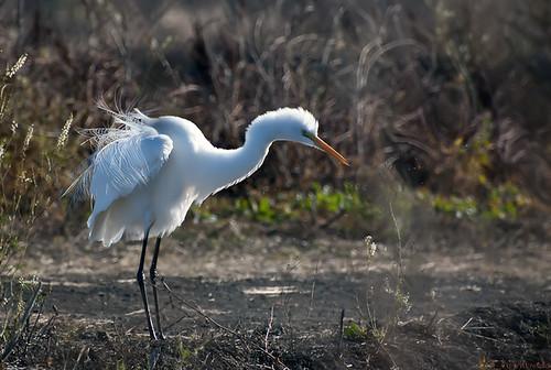 egret... by credd