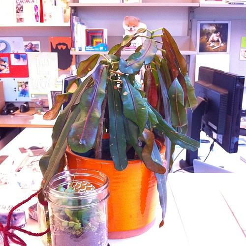 Post-holiday plant before watering @chroniclebooks
