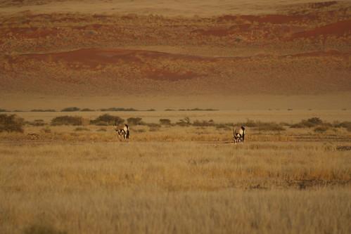 Oryx - Sossuvlei