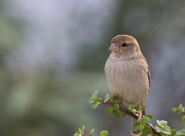 Spanish sparrowon plant 2