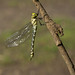 Southern hawker just emerged