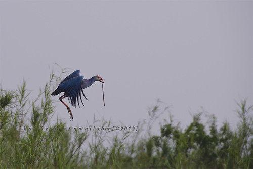 Kalim : Bird of Tanguar Haor