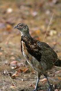Male Teen Pheasant