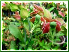 Attractive Euphorbia bracteata (Little Bird Flower, Slipper Plant, Candelilla), at a garden center