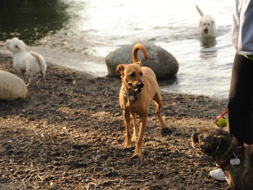 Rosie surveying the doggies, ball with thrower, brindle, poodledoodle, dogs, rocks, Lake Washington, Dog Park, Seattle, Washington, USA by Wonderlane