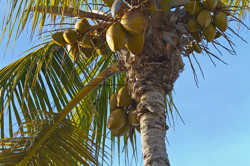 Coconuts in palm tree - Sanibel Island, Florida - January, 2012