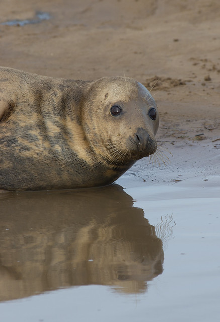 Grey seal female reflection 4