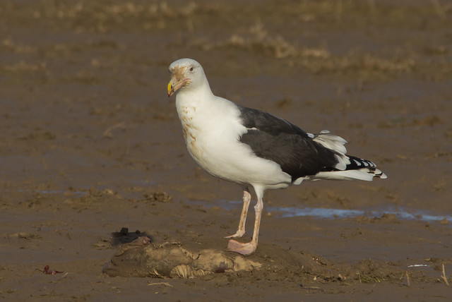 adult black backed gull on seal pup carcass 4