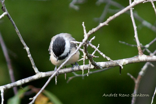 Black-capped Chickadee-7.jpg