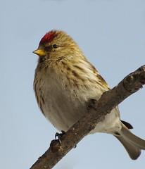 atlantic canary, animal, sparrow, ortolan bunting, wing, fauna, emberizidae, beak, bird, wildlife,