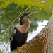 Small photo of American Darter (Anhinga anhinga) female