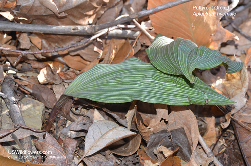 Puttyroot Orchid - Aplectrum Hyemale by USWildflowers, on Flickr