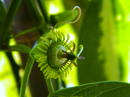 some of my passiflora - Page 3 6791301777_1ec9ac1381