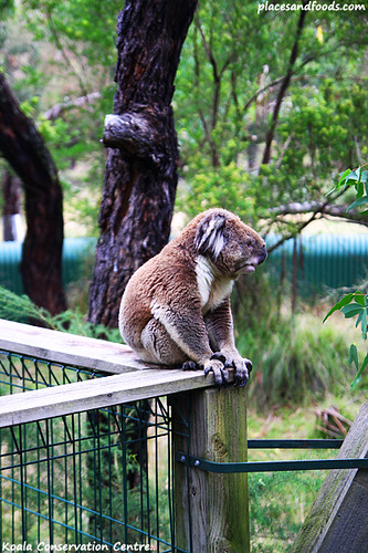 koala conservation centre8