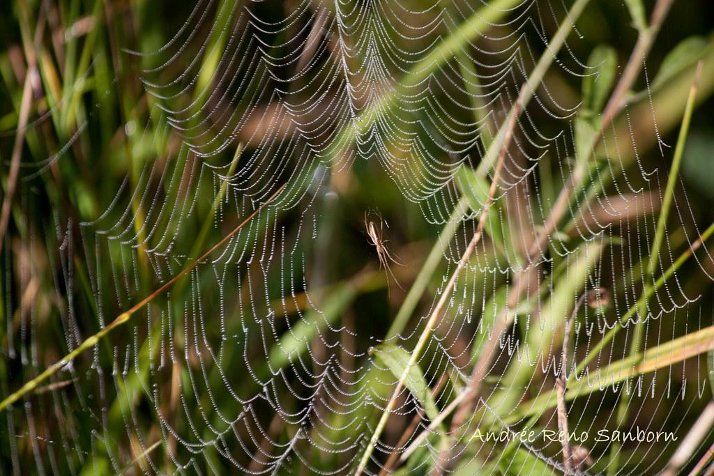Longjawed Orbweaver (Genus Tetragnathidae)-2.jpg