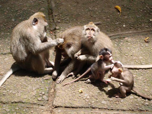 бали, обезьяны4