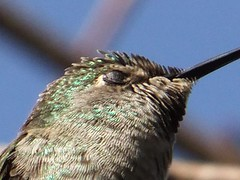 wren(0.0), branch(0.0), wing(0.0), parakeet(0.0), animal(1.0), hummingbird(1.0), fauna(1.0), close-up(1.0), beak(1.0), bird(1.0),