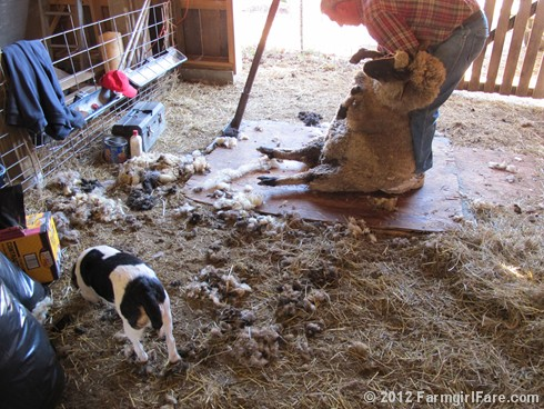 2012 Sheep shearing day 22 - FarmgirlFare.com