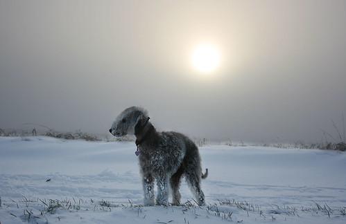 Bedlington Terrier in the snow